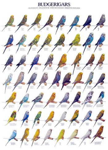 budgerigars_colors.jpg