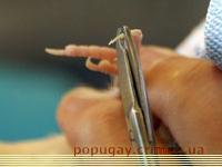 как стричь ногти попугаю