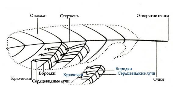 Ствол пера состоит из двух