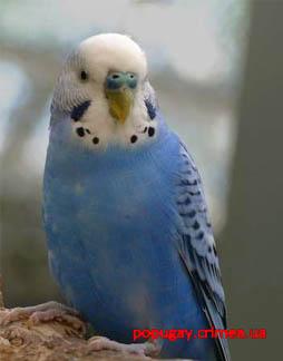 На рабочий стол обои волнистые попугаи
