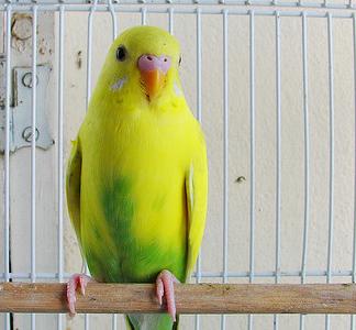 волнистый жёлтый попугай фото
